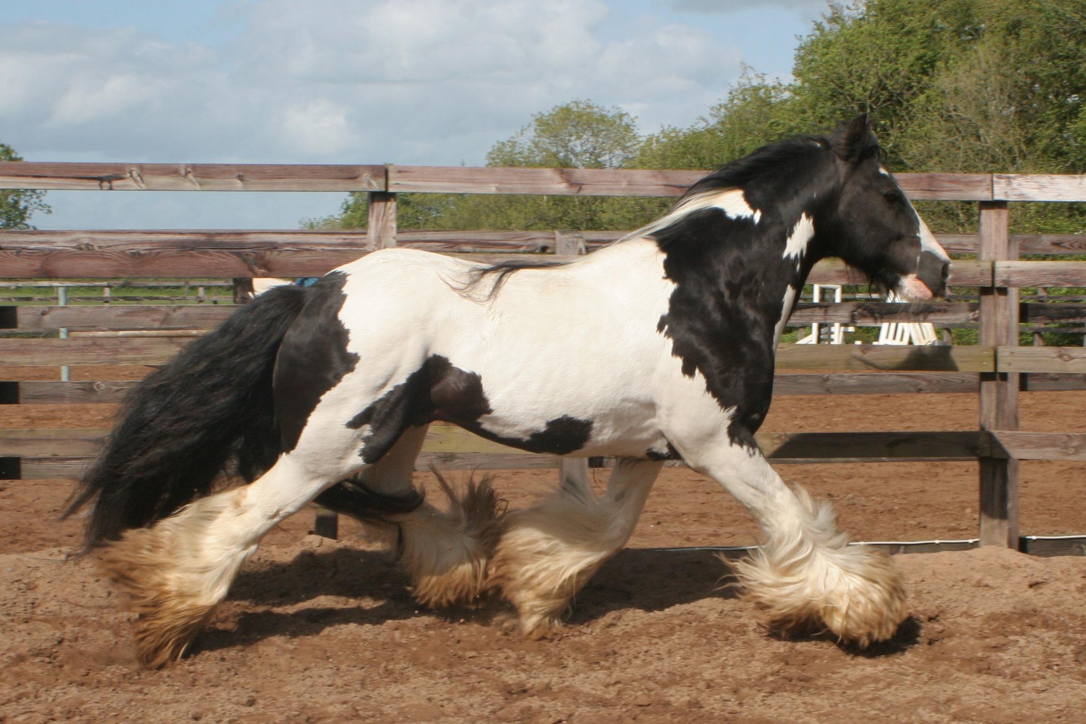 Llewelyn Irish cob stallion